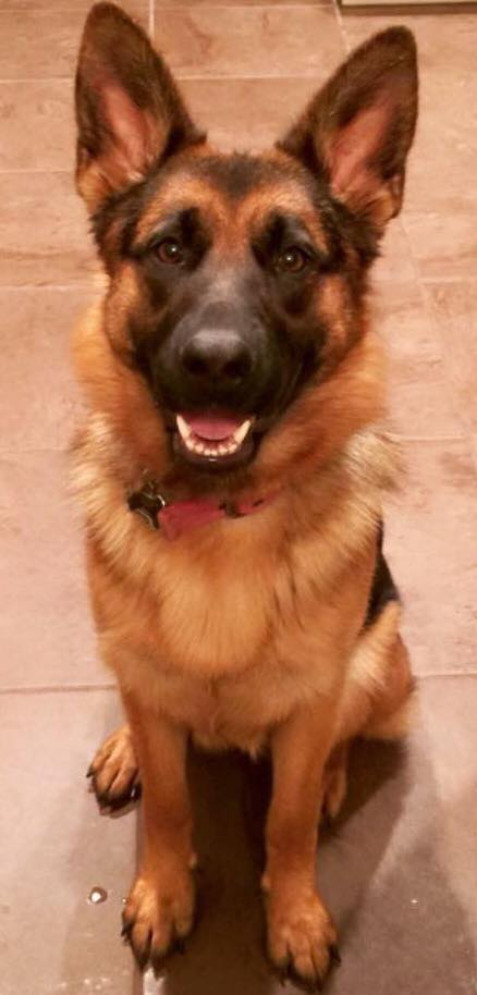 German Shepherd Puppies For Sale In Waco Texas